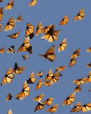 This undated handout photo provided by the journal Science shows migrating monarch butterflies. How do Monarch butterflies find their way to Mexico every fall? Turns out they orient to light using their antennas. How do we know? Researchers painted butterfly antennas black, and the insects got lost.