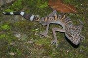 A Cat Ba leopard gecko.