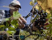 Kevin Anderson/Journal-World Photo.Work crews were out picking grapes Monday at Davenport Winery in Eudora.  Dan Snodgrass was snipping a row of Chambourcin grapes for the harvest. The vineyard is one of many stops along the Kaw Valley Farm Tour this weekend...........