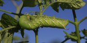 A horn worm works its way across a tomato vine in the the Okanis Garden.