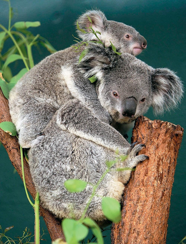 Koala baby and mother