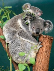 A mother and baby koala are seen Sept. 23 at the Sydney Wildlife World in Sydney, Australia. A study on koalas has found an unexpected consequence of habitat loss is a latent disease called chlamydiosis that can cause blindness, infertility and death in 50 to 90 percent of the creatures.