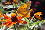 A butterfly perches on a zinnia in the Heartland Harvest Garden at Powell Gardens in Kingsville, Mo.