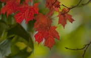 Maple leaves turn orange, yellow or red in the fall. Their color should be in full display for the Baldwin Maple Leaf Festival next weekend.