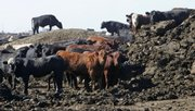 Cattle stand around a huge pile of manure as a pen is cleaned out Aug. 28 at the JBS feed lot west of Greeley in Kersey, Colo. JBS, which runs two of the largest feed yards and the local slaughterhouse, is testing a new technology that heats the cattle excrement and turns it into energy.