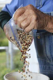Harry Cook, who has been raising popcorn for 25 years, weighs some kernels to prepare them for market.