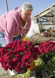 Pam Hamill, owner of Hamill's Country Garden Nursery, Baldwin City, arranges a display of mums outside her greenhouse. Hamill says you should mulch well with mums to ensure their survival throughout the winter.