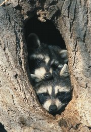 "A pair of raccoons peer out from a  cottonwood tree in this photo representing January in Mike Blair's new book ""A Kansas Year."""