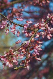 "A Kansas Redbud tree blooms. ""More than any Kansas outdoor occurrence, blooming redbuds mark the start of the growing season,"" Mike Blair writes. ""They're a benchmark on the living calendar."""