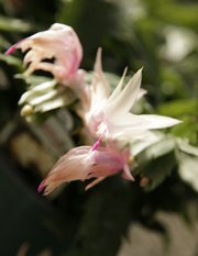 The flower of a Christmas cactus.
