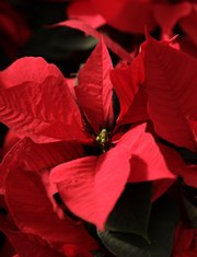 A Mars Poinsettia. Sunrise Garden Center staffers suggest poinsettias and other winter plants prefer bright but indirect sunlight for at least six hours a day.