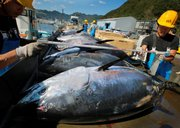 Workers measure tuna Nov. 4 at the Maruha Nichiro Holdings Inc. tuna farm in Kumano, Japan.