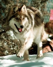 A Mexican gray wolf moves through his new home, a third of an acre pen, after being released from a cage in Hannagan Meadows, Ariz., in this Jan. 26, 1998, file photo.