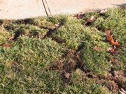 Damage from voles wreck a Lawrence lawn.
