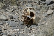 A portion of a human skull lies on the ground Friday where at least two suspected clandestine graves were found during a routine police patrol in the town of El Vergel, on the outskirts of the violence plagued northern border city of Ciudad Juarez, Mexico.