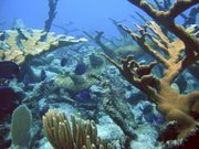 A healthy coral reef in St. Croix, U.S. Virgin Islands is shown in this undated photo provided by the U.S. National Oceanic and Atmospheric Administration. According to NOAA, some 27 percent of the world's reefs are already gone. If current trends continue, the agency predicts another two-thirds will disappear by 2032. That's nearly 70 percent of the world's reefs gone in just the next 20 years.