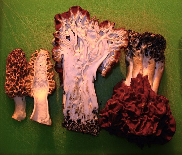 The true morel (left) is distinguishable from false morels (right) by its hollow core. False morels have cottony or other weblike structures inside their stem and cap.
