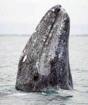 A California gray whale surfaces in San Ignacio Lagoon near Baja, Mexico, in this undated image.