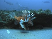 A lionfish swims at a depth of about 130 feet, roughly 55 miles off the coast of North Carolina, in this July 2006 file image. Conservationists and chefs are declaring open season on the invasive fish and serving it up.