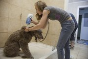 Phoebe undergoes a shampoo by Jessica Kincaid at Christal K-9. Phoebe's owners, Paul and Katie Studebaker, says the dog likes her grooming visits.