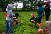 Cole Cottin, center, co-coordinator of the Farm-to-School program, helps children and parents from Cordley School pick strawberries at Wohletz Farm Fresh, 1831 N. 1100 Road.