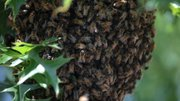 A swarm of bees gather around their queen on a hive in a small tree in the front yard of a residence at 2908 Whitmore.