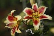 "Oriental ""Red Dutch"" lilies."