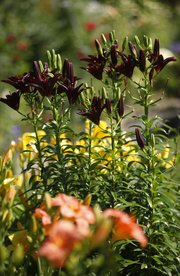 A darker selection of Asiatic lilies rise above hints of orange and yellow in Rendall's garden.