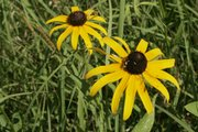 Black-eyed Susans in bloom at the Guess Prairie.