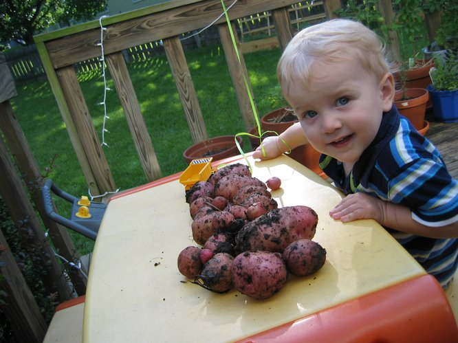 The kiddo was so proud that he helped dig these potatoes!