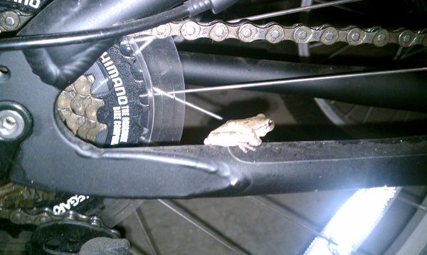 A frog/toad makes itself at home on my son's bike.