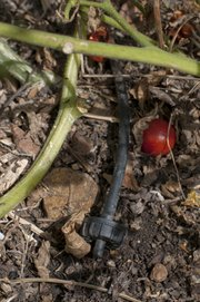 A drip irrigation system helps feeds the tomato and other vegetable plants in Spitz's garden.