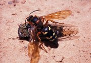 A lush, healthy lawn is the best way to keep cicada killers from burrowing in your yard.