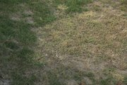 When temperatures cool down and summer is almost over, it is time to revive your dormant lawn.