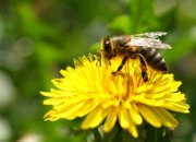Bees are essential for the health of pollinator-dependent plants.