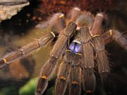 Scientists searching the Amazon have discovered new species, including a blue-fanged tarantula (Ephebous cyanognathus) — a remarkable-looking spider discovered in French Guiana in 2000, the species is entirely brown except for two vivid blue fangs- at the rate of about one new species every three days for the past 10 years, the World Wildlife Fund reported on Monday.