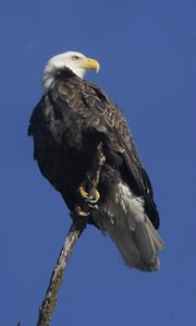 There are several eagles in the area as this year's Eagles Day approaches. Clinton Lake has three nesting pairs that are sitting on eggs, and others have been spotted as well.