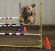 This golden retriever clears a jump at the dog agility trials Thursday at the Douglas County fairgrounds.