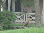 Foxes outside KU's Watkins Home.