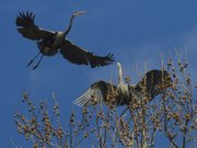 A blue heron takes off from the branches as a second one squawks at the other. A large rookery of great blue herons are nesting in a group of giant white-barked sycamore trees off the trail at Mill Creek Streamway Park in Shawnee.