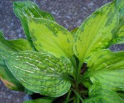 A healthy hosta, pictured, is winter hardy, heat- and drought-tolerant, and have few insect and disease problems. Symptoms of Hosta Virus X include the appearance of mosaics and lines, mottling and blotches on the leaves. Sometimes plant tissues pucker or twist and small brown lesions may form on the leaves.