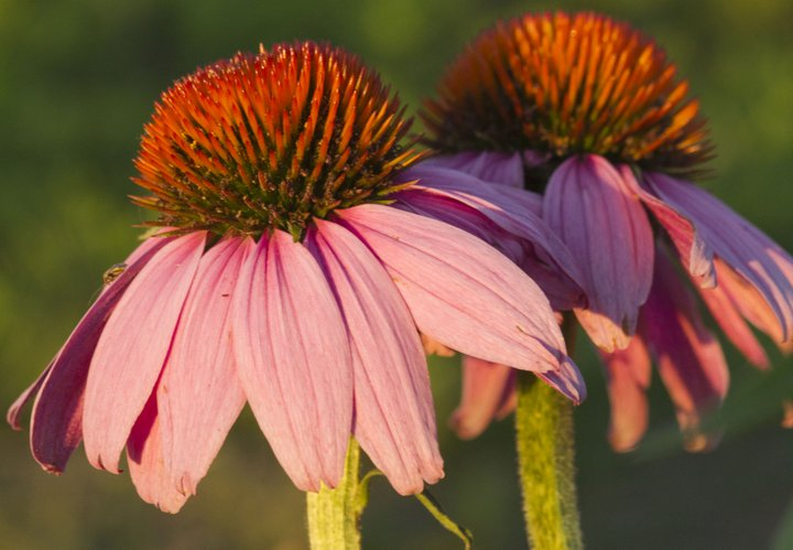 Echinacea, also known as Purple Coneflower, is one of the many species of plants growing in the Kansas University Native Medicinal Plant Research Garden, located northeast of Lawrence.