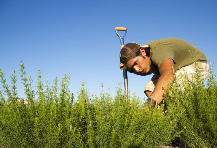 Haskell student Bryn Fragua, Jemez Pueblo, N.M., pulls weeds from a patch of purple prairie clover at the Kansas University Native Medicinal Plant Research Garden, located northeast of Lawrence Wednesday, June 15, 2011.
