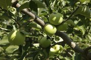 David  Vertacnik's apple crop will be about 40 percent less than normal because of a couple of late February days that freeze-dried the buds. Fruit growers around the area are suffering losses this year on apples, peaches and pears.