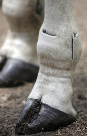 In this July 7, 2011, photo, only a few scars remain visible on Hope the giraffe's hind legs a year after local veterinarian Joseph Kamer came up with hard casts and special shoes to allow her to walk on her own, at the Topeka Zoo in Topeka. Hope was born with hyperextended fetlocks, which made her rear feet fold forward into the lower leg.