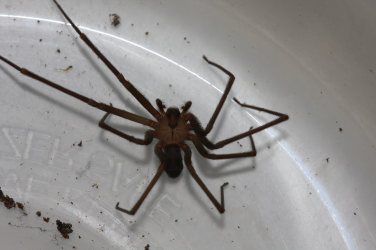Brown recluse spider. Summer bugs abound  Experts offer tips for coping with misery