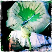 Mike Yoder/Journal-World Photo.A dragonfly sits on top of a lotus bulb. .Photographed with the iPhone camera app Hipstamatic with The John S. lens and Kodot XGrizzled film effects.