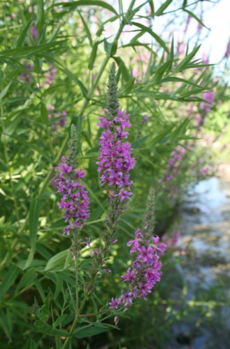 A close-up photo of purple loosestrife, an invasive weed that is on the quarantined list in Kansas.
