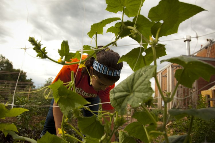 Hayley Luna works to secure a cucumber vine to plastic netting on Monday, Aug. 8, 2011, at the West Middle School garden. Last year, in its first year, the garden provided 300 pounds of produce for the school cafeteria.