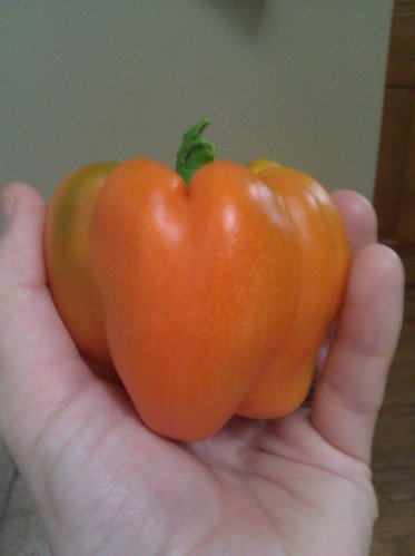 An orange pepper from my garden.